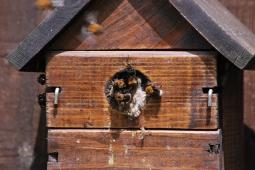 Bumble bees in bird box