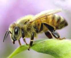 honeybee2