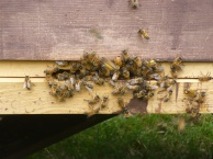 Honey bees at the entrance of the hive