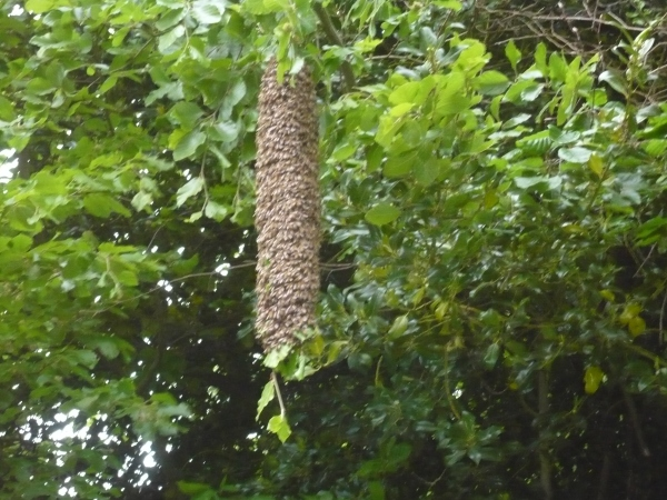 Very long swarm of bees - looks like a kebab !