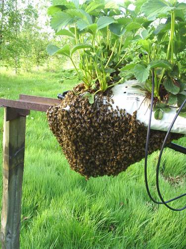 Swarm at Lathcoats farm