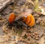 The Tawny Mining Bee