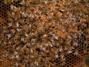 Click to see if you can find the Queen Bee